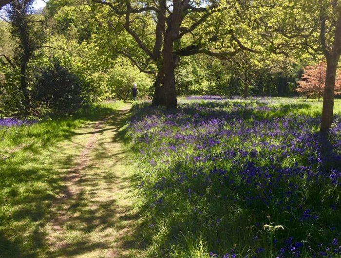 Bluebell Woods - Llanystumdwy